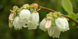 Fleurs des Myrtilliers