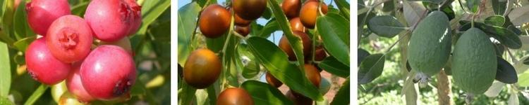 Fruitiers Originaux