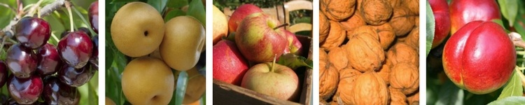 Fruitiers en Racines Nues
