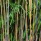 Bambou Fargesia Great Wall