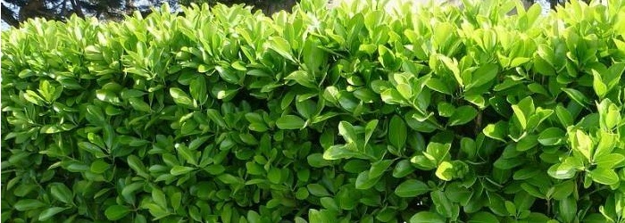 Euonymus japonicus fusain du japon