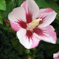 Hibiscus 'Hamabo'