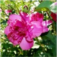 Hibiscus 'Summer Festival' ®