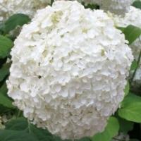 Hortensia arbustif 'Annabelle'