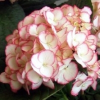 Hortensia 'Dutch Ladies Sabrina' ®