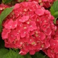 Hortensia 'Leuchtfeuer'