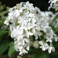 Hortensia paniculata 'Levana' ®