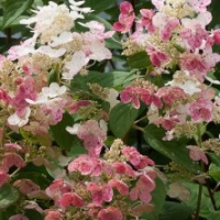Hortensia 'Little Quick Fire' ®
