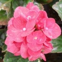 Hortensia 'Merveille Sanguine'