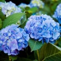 Hortensia 'Renata' Blue'