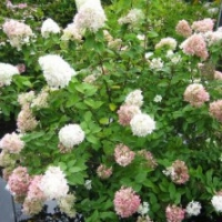 Hortensia 'Selection'