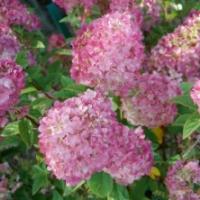 Hortensia 'Sundae Fraise'