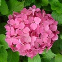 Hortensia 'Sybilla' ®