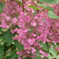 Hortensia 'Wim's Red' ®