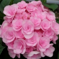 Hortensia 'You And Me Love' ®