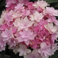 Hortensia 'You And Me Romance' ®