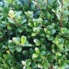 Houx 'Green Hedge'