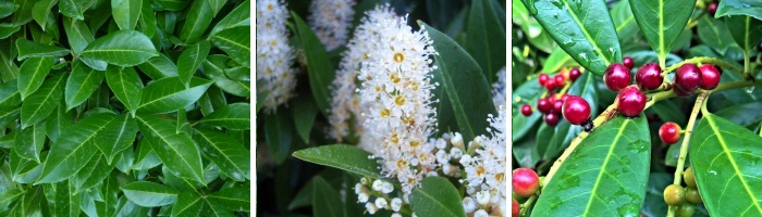 laurier palme : feuilles fleurs et fruits