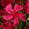Laurier rose 'Jannoch'