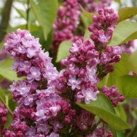 Lilas Belle de Nancy