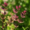 Lonicera 'Red Tips'