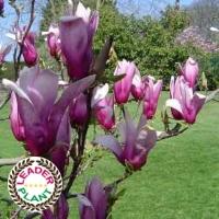Magnolia 'Nigra'