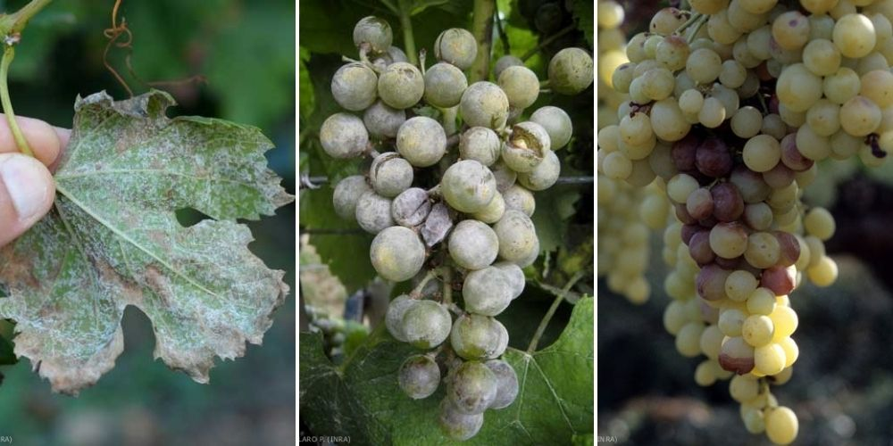 maladies vigne mildiou oidium botrytis