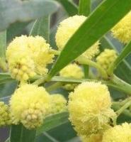 le mimosa un arbre qui sent tr s bon arbustes plantation conseils culture leaderplant. Black Bedroom Furniture Sets. Home Design Ideas