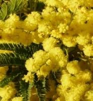 Mimosa Gaulois Astier