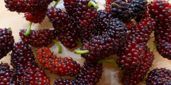 Fruits du Murier