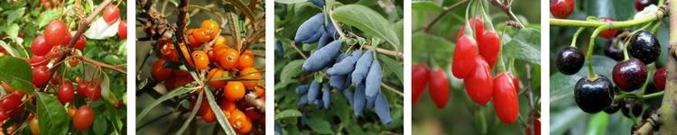 Petits Fruits Originaux