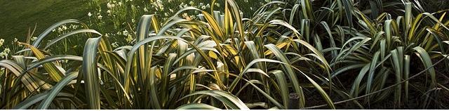 Phormium plantation