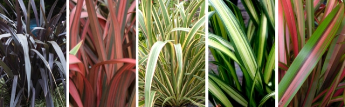 phormium arbustes de jardin vente d 39 arbustes phormium leaderplant. Black Bedroom Furniture Sets. Home Design Ideas
