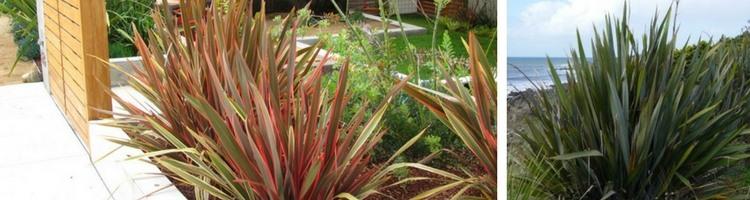 plantation-phormium-tenax-lin-nouvelle-zelande