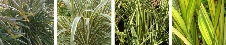 Phormiums tenax Verts et Jaunes
