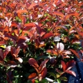 Photinia ou Laurier rouge