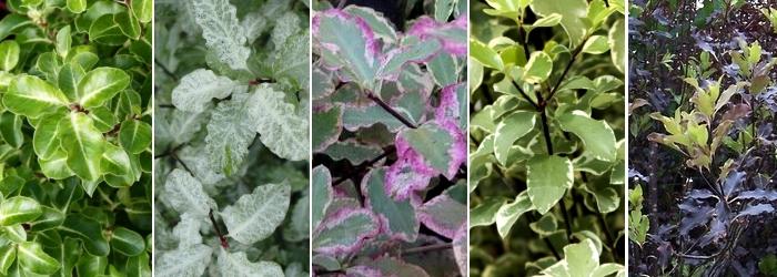 Variétés de Pittosporum tenuifolium