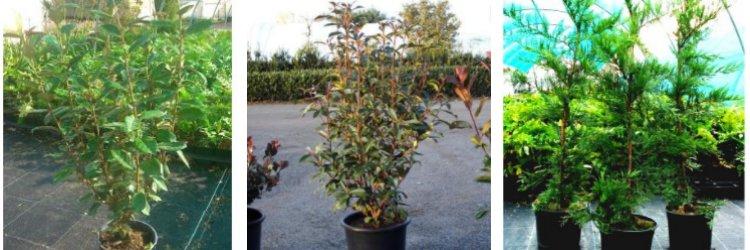 Plantes en pot XXL pour haies