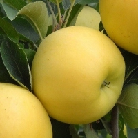 Pommier nain Apple Me Golden - Fruit Me ®