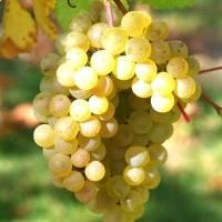 Vigne 'Chasselat doré'