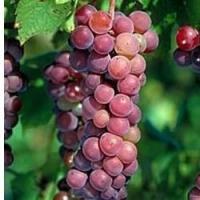 Vigne Fragola rouge
