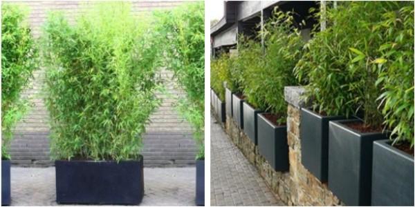 bambou robusta en bac