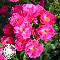 Rosier 'Pink Emely'