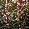 Sarcococca 'Digyna'