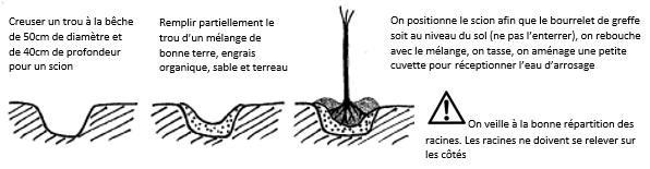 Principales étapes pour la plantation d'un fruitier en racines nues
