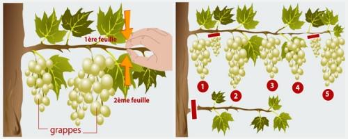 Tailler les vignes fruits conseils tailler les plantes - Entretien de la vigne ...