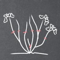 Taille de floraison de l'Hortensia