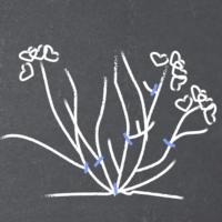 Taille de nettoyage de l'Hortensia