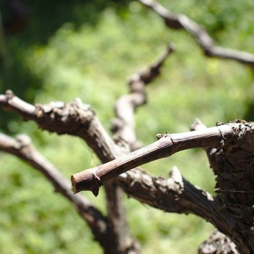 taille vigne fructification
