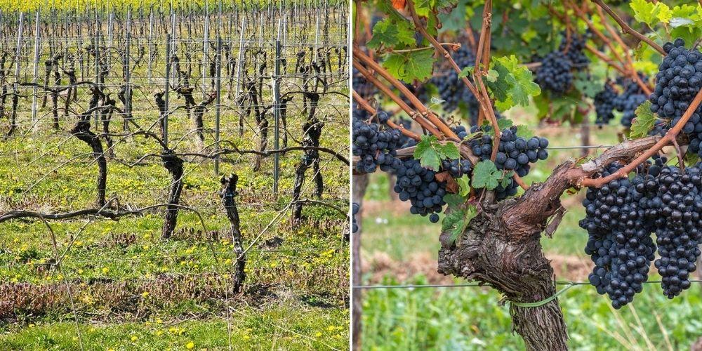 taille vigne fruits double cordons
